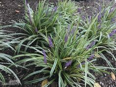 Evergreen Groundcover Plants: 20 Choices for Year-round Interest Lilyturf (Liriope muscari): This cl Front House Landscaping, Mailbox Landscaping, Outdoor Landscaping, Landscaping Plants, Outdoor Plants, Landscaping Ideas, Evergreen Groundcover, Liriope Muscari, Variegated Liriope