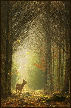 sunlit roe deer browsing the forest