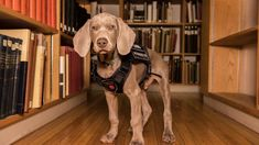 Real talk: The Boston Museum of Fine Arts just hired the cutest security guard and we are totally smitten. Meet Riley, a 12-week-old Weimaraner puppy being trained to sniff out invasive bugs. Cute Puppies, Dogs And Puppies, Grandparent Photo, Weimaraner Puppies, Boston Museums, Photo Recreation, Church Of England, Museum Collection, Working Dogs