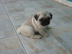 eljardindelascosasinvisibles: Adorable ^^ I love pug puppies' leg wrinkles! Wrinkles everywhere!