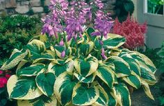 "pictures of blooming hostas | Hostas (Spring-Planted) - ""Wide Brim"" SHIPPING NOW!"