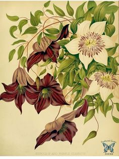 Clematis florida [as C. sieboldii] and Clematis jackmanii. The garden : vol. 22, (1882) | by Swallowtail Garden Seeds