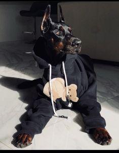 Doberman Pinscher Dog, Doberman Dogs, Dobermans, Blue Doberman, Cute Little Animals, Cute Funny Animals, Cute Dogs And Puppies, Big Dogs, Fille Gangsta