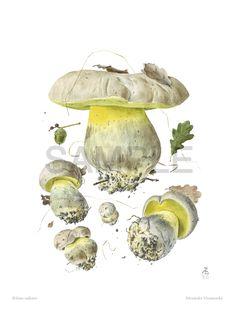 "© Alexander Viazmensky (see resume)   Boletus radicans   watercolor 16"" x 12"" (40.5 x 30.5 cm)"