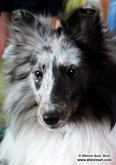 Pretty Sheltie at the Scottish Festival. I love the sable coloring but this blue marking is stunning.