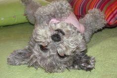 Essas raças de cachorro de pequeno porte não soltam pelo e, em alguns casos, não latem e nem exalam cheiro, fatores que os tornam bons cães para apartamento