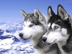 Sakhalin Husky - Dog Breed Standards