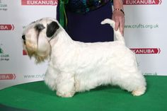 Sealyham Terrier - CH/AM CH BLOMENDAL'S BORN IN THE USA AT THUNDER ROAD | Crufts 2014 Dog Show March 6-9