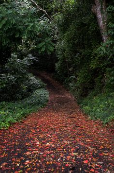 Rural road paved in fallen Flamboyant flowers; Yauco Puerto Rico