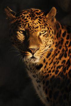 in the dark - in the dark Nature Animals, Animals And Pets, Cute Animals, Fierce Animals, Baby Animals, Beautiful Cats, Animals Beautiful, Jaguar Animal, Big Cats Art