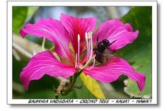 Bloom for Mar. 31, 2012:  variegated orchid tree (Bauhinia variegata).  Photo by Allio.