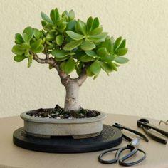 4 Steps To Prune The Perfect Jade Bonsai - Jade Plant Bonsai Jade Bonsai, Succulent Bonsai, Succulent Gardening, Bonsai Garden, Planting Succulents, Container Gardening, Planting Flowers, Jade Plant Pruning, Jade Succulent