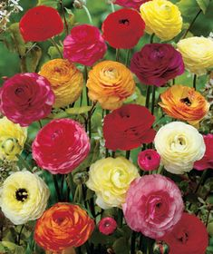 Fill your garden with 50-Pack Easy-to-Grow Bulbs for an assortment of beautiful flowers that will bloom year after year. Each pack includes 50 easy-to-plant bul