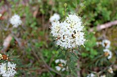 Tunnetko suopursun tuoksun? #flower #finland #summer #marsh