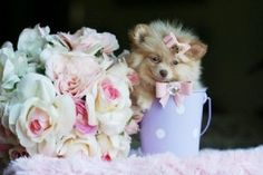 teacup pomeranian puppies for sale in ohio
