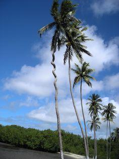 Une bizarrerie unique soit disant car tous les cocotiers sont droits Images, Unique, Plants, June, Travel, Plant, Planets