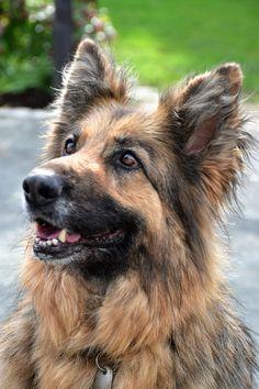 My german shepherd called Alba
