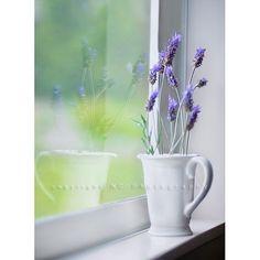 lavender by charlotte