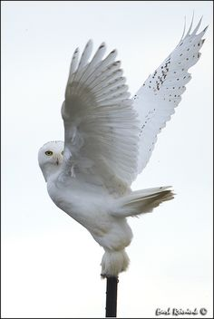 Tracked down two of these guys (snowy owls) yesterday south of their usual winter territory. It was magical