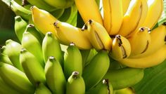 Why Banana is important for health? Bananas are packed with nutrients that help improve and maintain good health. Fruit And Veg, Fruits And Vegetables, Fresh Fruit, Exotic Fruit, Tropical Fruits, Bananas, Banana Nutrition, Banana Benefits, Vegetables Garden