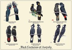 Black Cockatoos of Australia Poster by MarionLynkStudio on Etsy