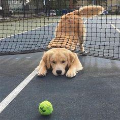 Golden retriever speelt met  een tennisbal. Beste Golden Retriever Foto's. #Goldenretriever #Golden #Retriever.