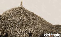Montaña del cráneo del bisonte En la década de 1870, bisontes habían sido cazados hasta casi la extinción. Aquí hay una foto de una montaña de cráneos de bisonte, simplemente para mostrar cuántas personas murieron en un corto período de tiempo.