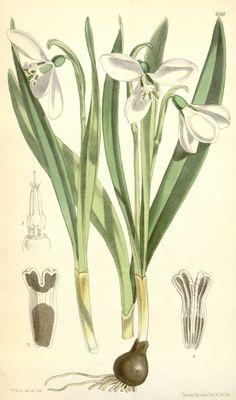 Galanthus elwesii : Giant Snowdrop