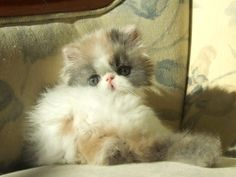 Alfenloch Himalayan and Persian kittens, Ontario, Canada - 2013 Himalayan kittens and Persian kittens in chocolate, lilac and traditional co...
