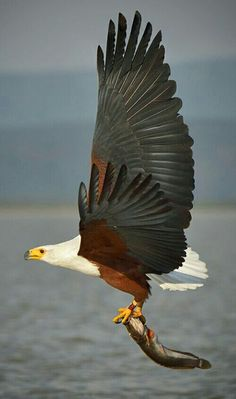 Eagle Images, Love Your Pet, Bald Eagle, Birds, Pets, Animals, Animales, Animaux, Bird