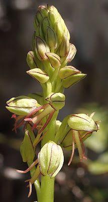 Aceras antropophorum   Poppenorchis - Photo by Bert Verton