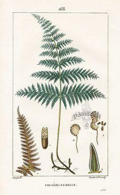 Female Fern. Turpin Botanical Prints 1815