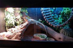 Reptile Tank Bearded Dragon