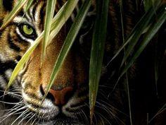 Tiger In Hiding wallpaper free Karate, Mens Tiger Tattoo, Tiger Pictures, Hyper Realistic Paintings, Tiger Art, Animal Wallpaper, Big Cats, Predator, Photo Art