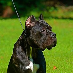 Cane Corso Breeders & Puppies for Sale Cane Corso Breeders, Cane Corso Dog, Cane Corso Puppies, Kane Korso, New Puppy, Puppies For Sale, Large Dogs, Mans Best Friend, Best Dogs