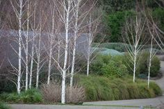 Robert Boyle Landscaping - Great use of birches & grasses