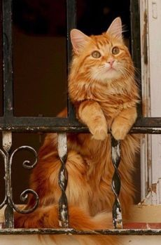 Scientists have found that different genetic combinations can affect the color, pattern, and length of a cat's fur. Sometimes these combinations seem surprising. But what does that mean for orange cats? Are all orange cats male? Funny Cats, Funny Animals, Cute Animals, Baby Animals, Funniest Animals, Cats Humor, Silly Cats, Pretty Cats, Beautiful Cats