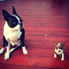 Cutest thing EVER! #bostonterrier