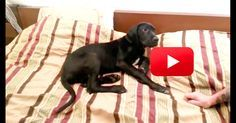 I wonder how long it actually took to get this cutie out of bed? Puppy And Human Argue About Waking Up And It's SO CUTE!