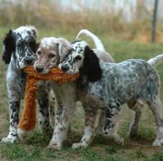 Gordon Setter Rescue Ohio English Setter | Dogs ...