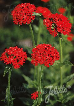 LYCHNIS chalcedonica   Portion(s)