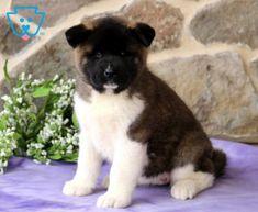Maxy | Akita Puppy For Sale | Keystone Puppies Akita Puppies For Sale, Baby Puppies For Sale, Cute Dogs And Puppies, Shiba, Cute Babies, Funny Babies