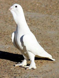 Türkiye de yetişen güvercinler-Pigeon
