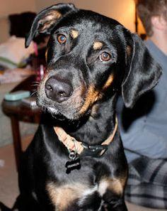 doberman rottweiler mix scout the doberman mix pictures 277557 pet pinterest hunde. Black Bedroom Furniture Sets. Home Design Ideas