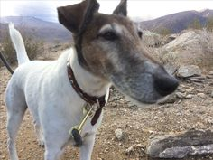 Fox terrier selfie after a hike to the top of the vista point Palm Springs