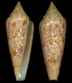 Cylindrus gloriamaris Chemnitz, J.H., 1777 Glory-of-the-Sea Cone Shell size 70 - 162 mm Philippines & Malaysia - Samoa & Fiji