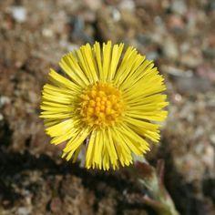 #huflattich Dandelion, Flora, Health, Plants, Winter, Signs, Herbal Medicine, Fried Cabbage Recipes, Natural Garden