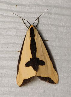 A lovely salmon-colored Clymene moth (Haploa clymene) that came to the light Sunday night...and hung around all day Monday, till I scared it out of a corner while sweeping.  Did you know that this week is National Moth Week? Check out nationalmothweek.org for more info.
