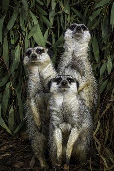 Meerkats | por Bridge Framer