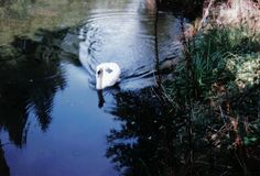 Willie, granny's swan